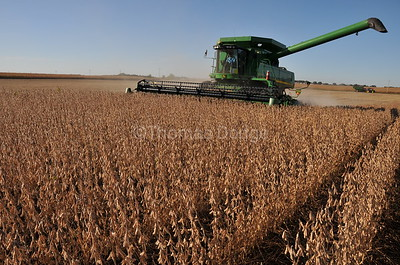 Soybean harvest, Truman, MN.