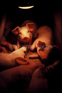 Young pigs under heat lamp, Truman, MN.