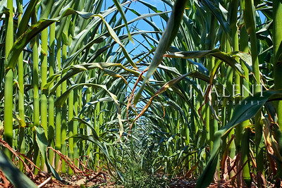 Corn, Canopy Under Drought Stress