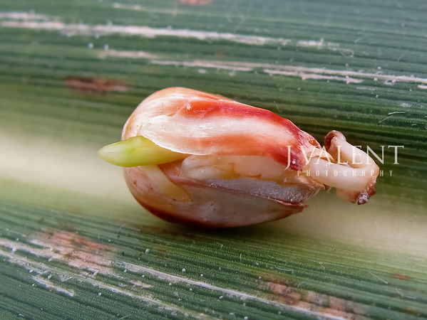 Germination of a Kernel of Corn