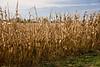 Autumn Cornfield, Stephenson County, Illinois