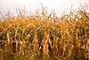 Autumn Cornfield, Richland County, Wisconsin