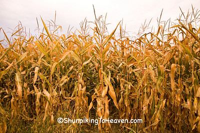 Autumn Cornfield, Richland County, Wisconsin