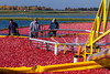 Cranberry harvesting operations at the Vilas Cranberry Co. marsh at Manitowish Waters, Wisconsin, USA.