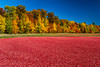 The Vilas Cranberry Co. flooded marsh with fall foliage color at Manitowish Waters, Wisconsin, USA.