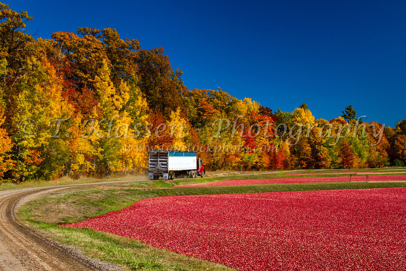 A semi truck of harvested cranberries is transported to the processing facility near Manitowish Waters, Wisconsin, USA.