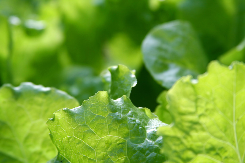 Background close-up of fresh romaine lettuce leaves.
