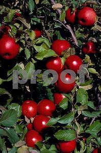 Apples 1 04 028