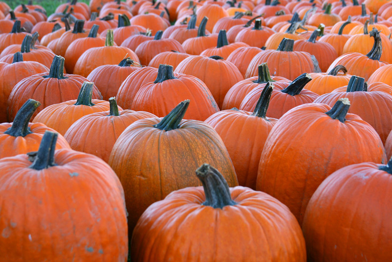Everlasting field of pumpkins waiting to be carved into Jack-o-Lanterns