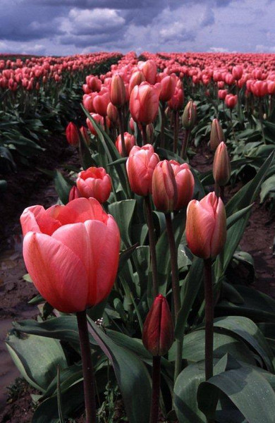 Tulips, Mount Vernon, Skagit Valley, Washington State