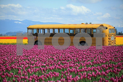 Tulips, Mount Vernon, Skagit Valley, Washington State