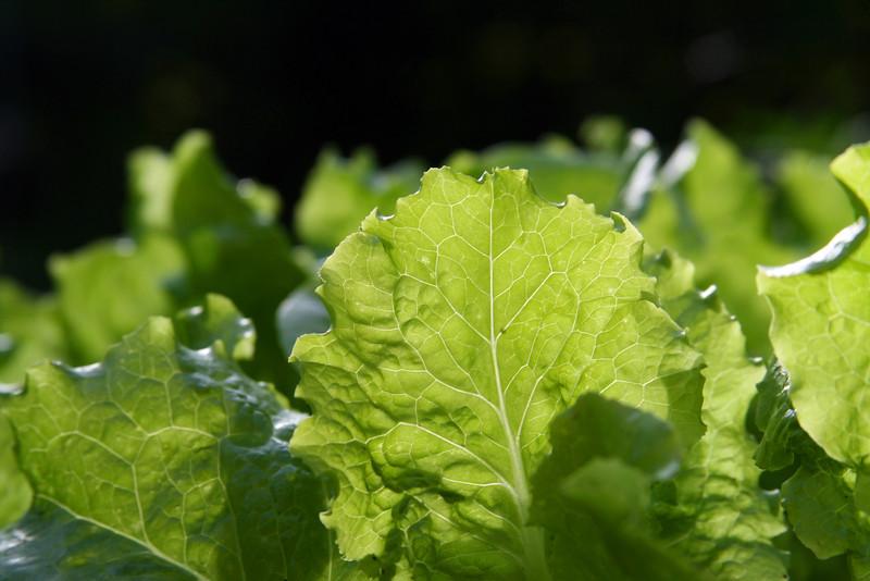 Beautiful crisp green romaine lettuce.