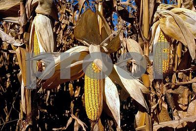 Corn 3 ears 1 04 085