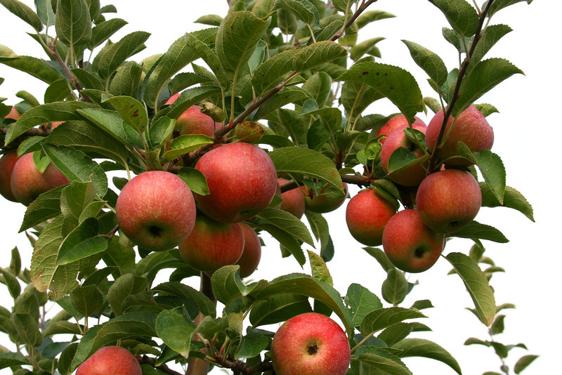 Apples cling in bunches to this tree.