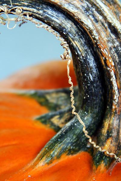 Stem of a pumpkin with a spiral of vine.