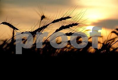 Wheat stems & sun 1 06 046