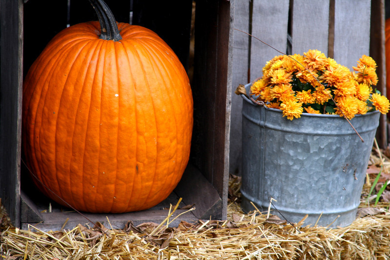 Pumpkins and mums, perfect for fall.