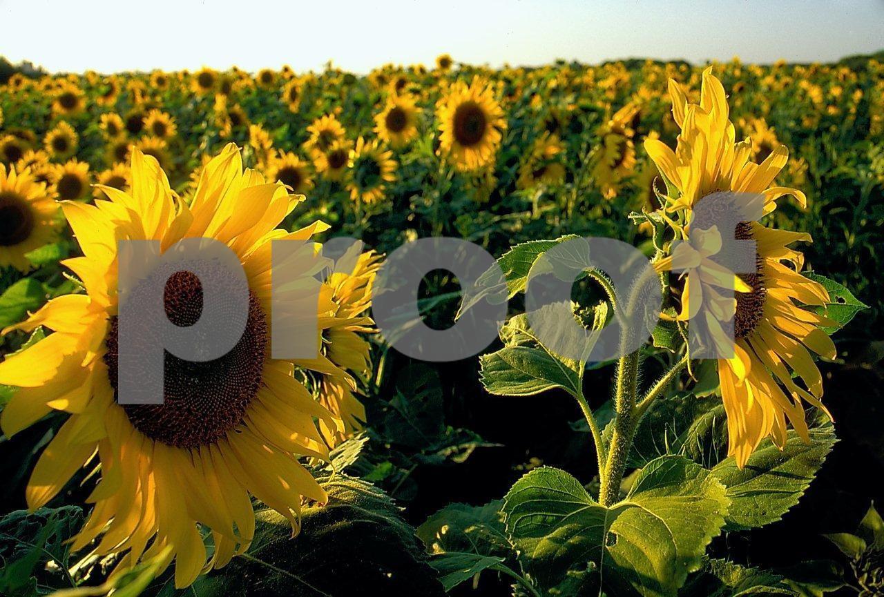 Sunflowers 1 04 139
