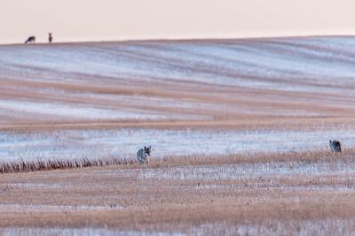 barley 31