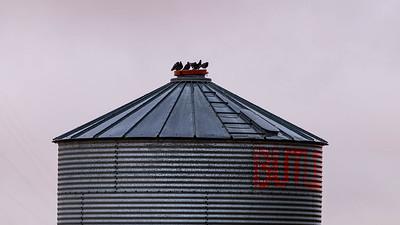 barley 41