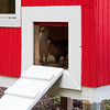 Chickens peek out of their clean red and white coop.