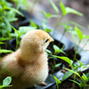 Young baby chick on the pepper seedlings.
