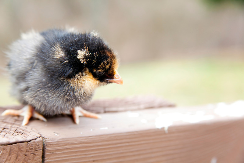 Young baby chicks.
