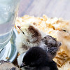 Young baby chicks drink out of the mason jar poultry waterer.