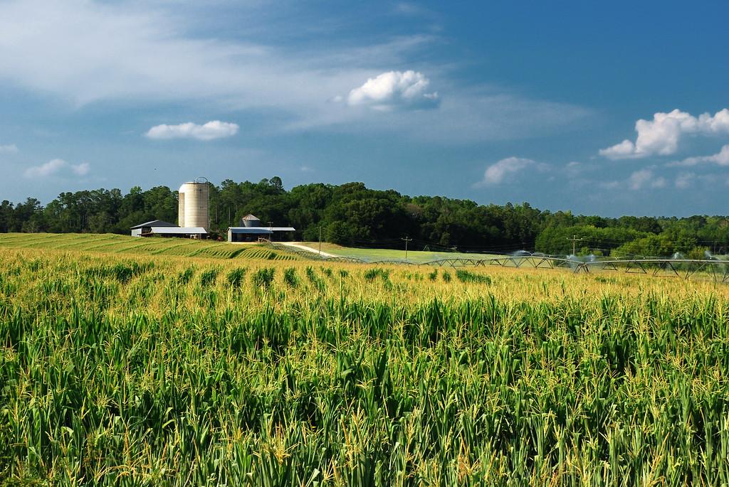 Corn field off GA 15, Greene County (GA) July 2008
