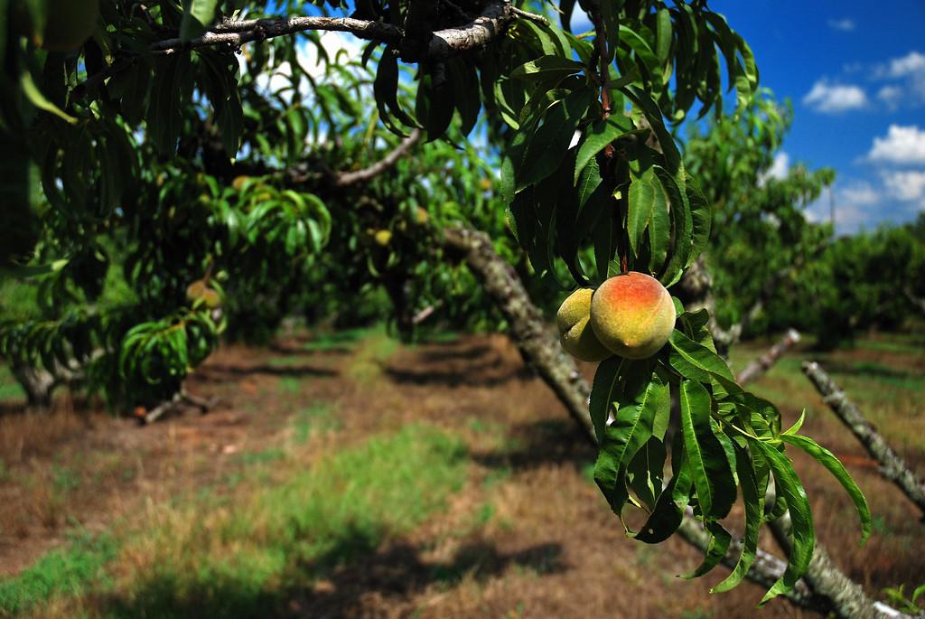 Peaches, Oconee County (GA) June 2008