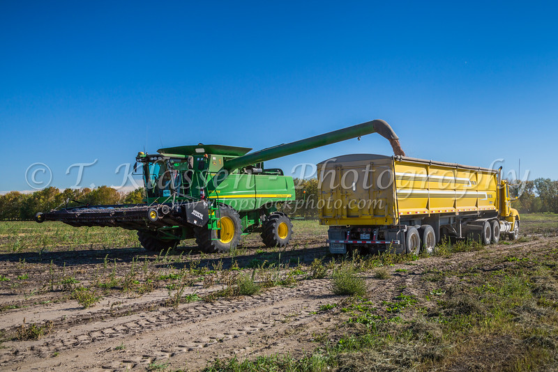 Unloading edible bean pulse crop at the Froese Farm near Winkler, Manitoba, Canada.