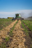 Edible bean pulse crop harvesting at the Froese Farm near Winkler, Manitoba, Canada.