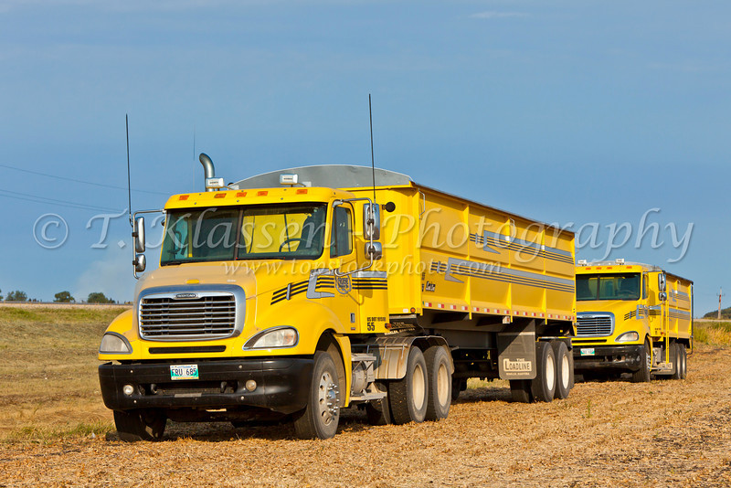 Yellow trucks and the soybean harvest on the Froese farm near Winkler, Manitoba, Canada.