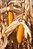 Closeup of ripe corn cobs on the plant in fall, ready to be harvested on the Froese farm near Winkler, Manitoba, Canada.
