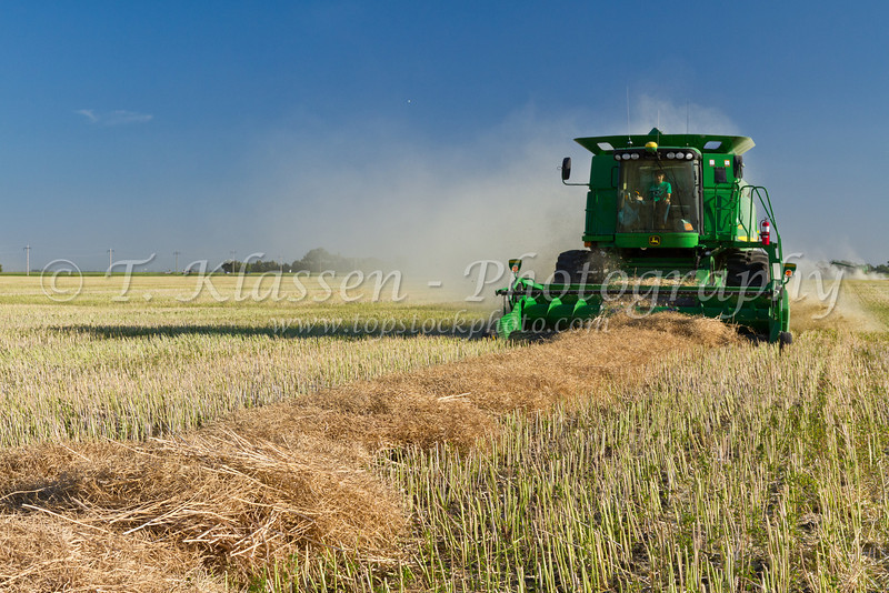 A combine harvesting canola crop on the Froese farm near Winkler, Manitoba, Canada.