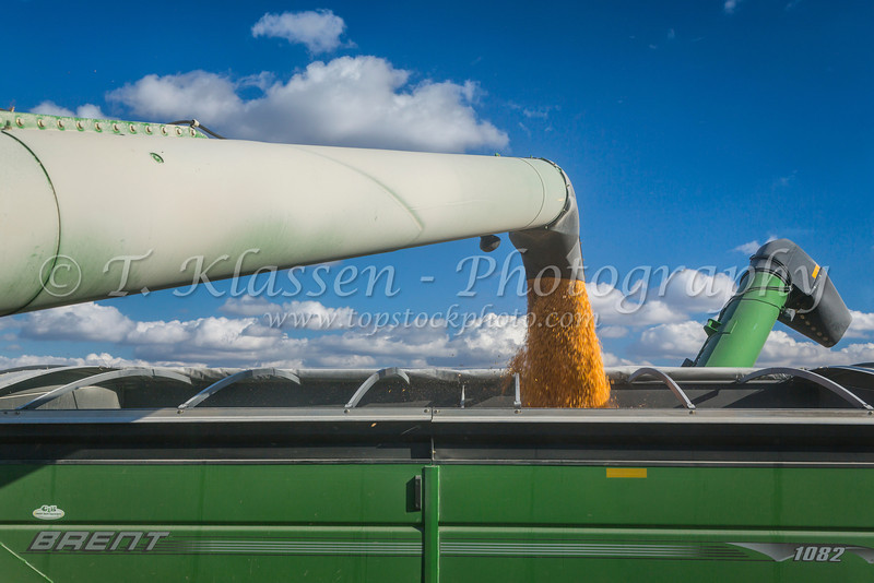 Emptying corn from the combine hopper bin into a portable grain cart on the Froese farm near Winkler, Manitoba, Canada.