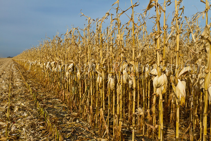A corn field ripe for harvest 2011 on the Froese farm near Winkler, Manitoba, Canada.