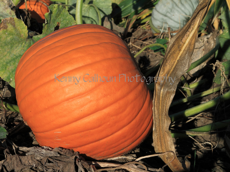 IMG_2843CoolPatchPumpkins