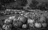 Park Winters Pumpkins--4