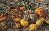 Park Winters Pumpkins--3