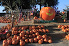 IMG_4550UncleRaysPumpkinPatch