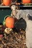 IMG_4537UncleRaysPumpkinPatch
