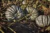 NewZealandBlueIMG_2840_HDRCoolPatchPumpkins