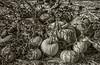Park Winters Pumpkins-2-2