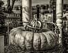 Park Winters Pumpkins-