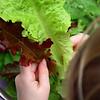 A child sorts garden lettuce.