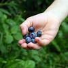 A handful of freshly picked blueberries.
