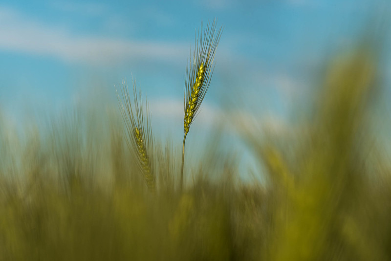 barley 8