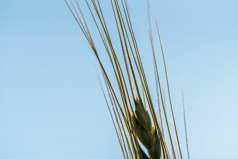 Wheat Awn