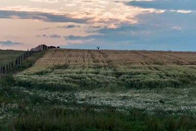 Buck Barley